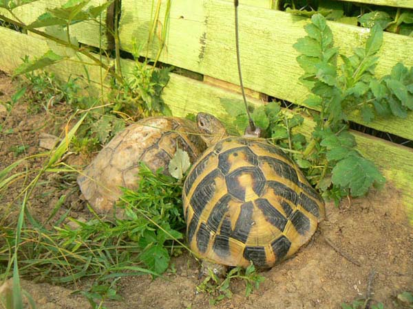 12 Male tortoise with transmitter demonstrating normal mating behavior