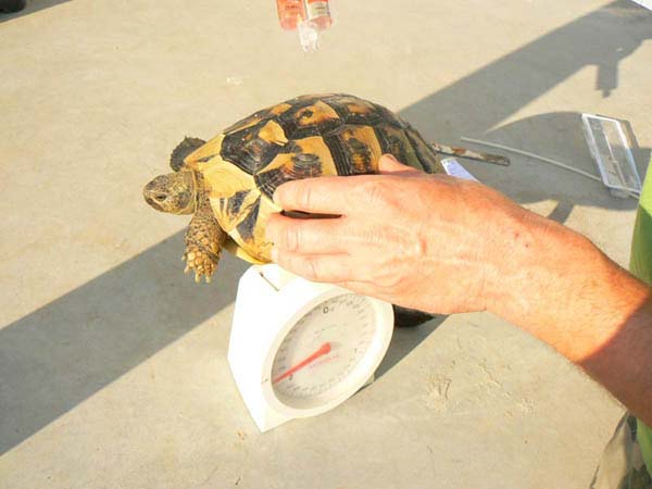 All tortoises were measured, weighted, marked, photographed and supplied with glue-on transmitter