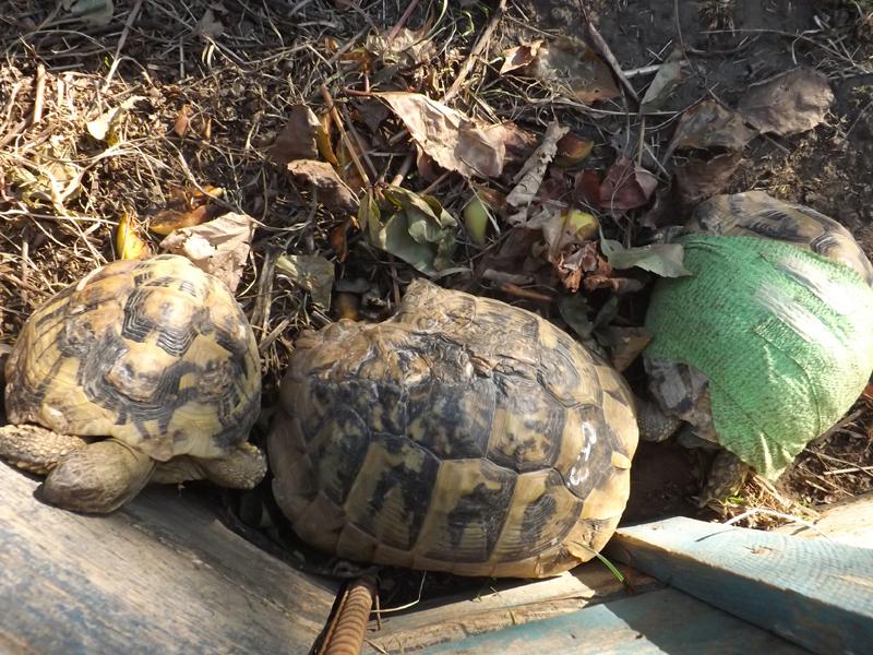 Възстановяващи се костенурки