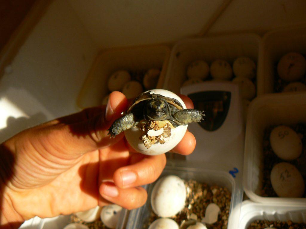 Новоизлюпена костенурка